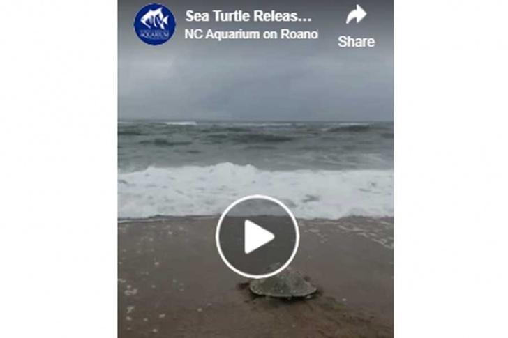 NC Aquarium staff release 12 rehabilitated sea turtles, including an adult female Kemp's ridley